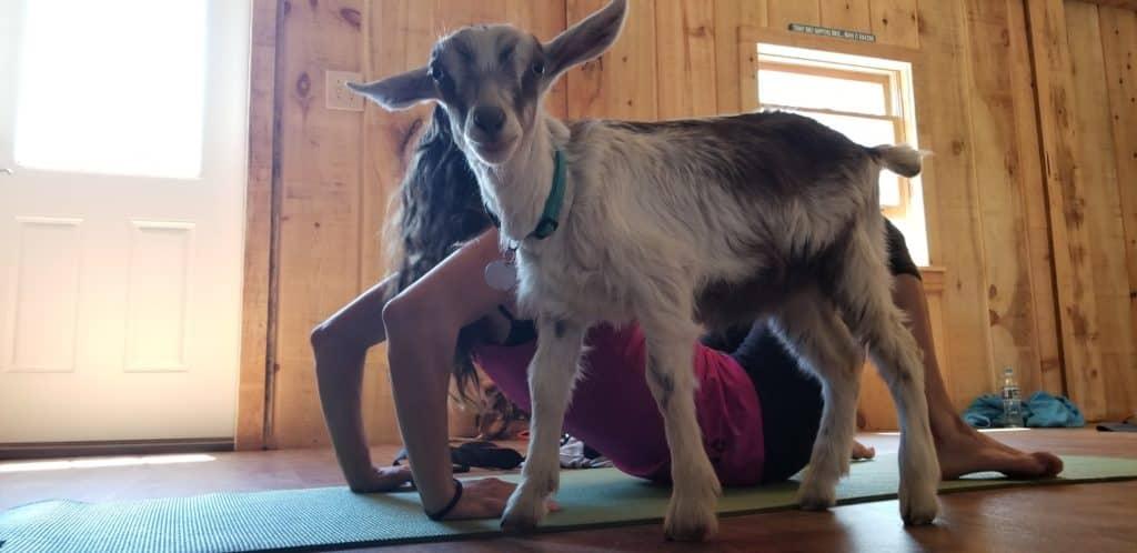 Downward Dog to Upward Goat: Goat Yoga at Autumn Ridge