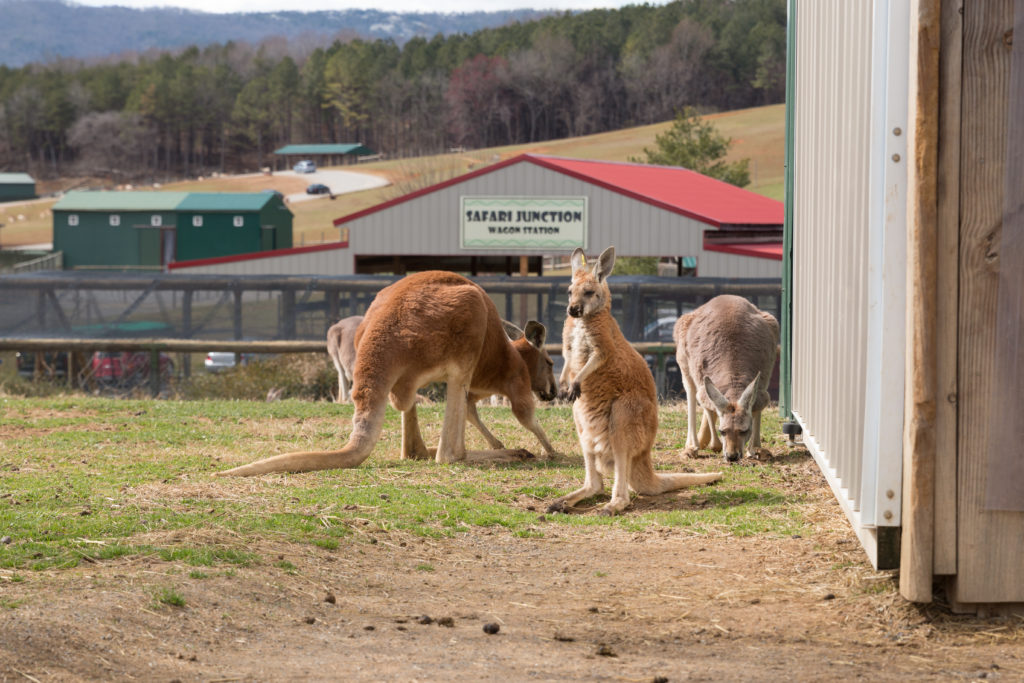 Kangaroos Virginia Safari Park Lexington