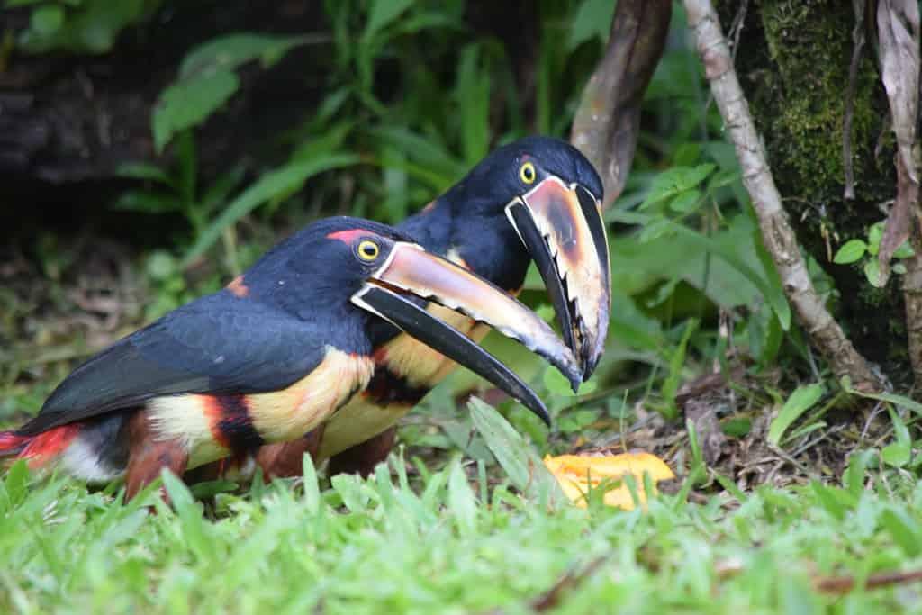 Toucans Costa Rica